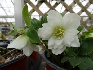 Spring Open House hellebores in bloom